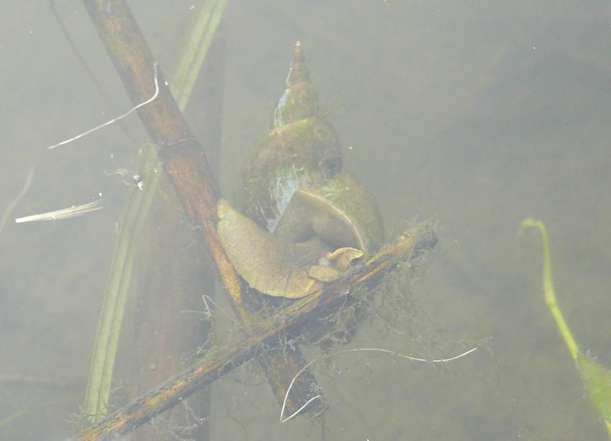 Mocsári csiga